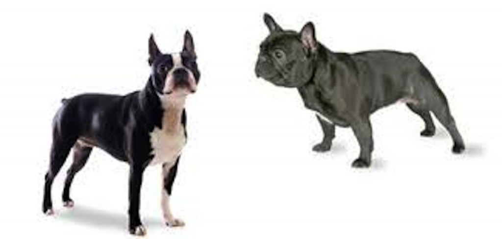 A boston terrier and a french bulldog
