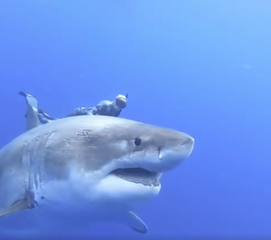 Jaw-dropping: Largest Great White shark ever recorded in ...
