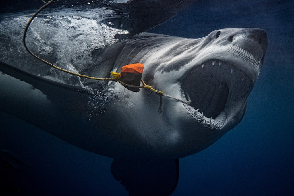 Geaux to Hell: 2000 lbs Great White shark moves into Louisiana's coastal waters, stalking state's
