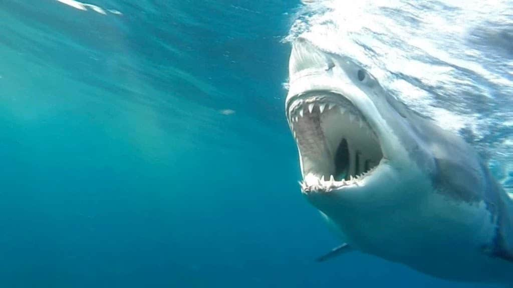 Five Large Great White Sharks Amass Off North Carolina S Coast Preparing To Feast On Buffet And Sending Already Panicked Locals Into Paroxysms Of Sheer Terror